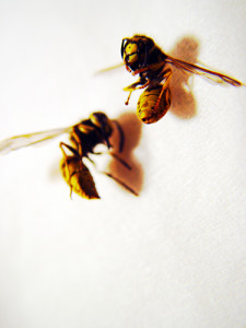Two Bees, Or Not Two Bees… by drp, on flickr